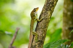 Anolis lizard, Tobago Stock Images