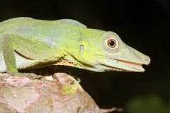 Anolis punctatus Royalty Free Stock Photos