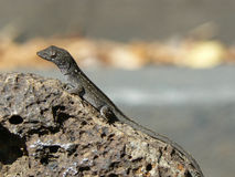 Anolis sagrei Royalty Free Stock Photography