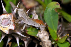 Anolis sagrei, brown anole Royalty Free Stock Images