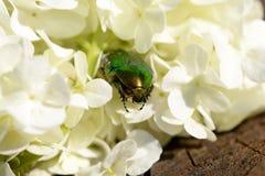 Anomala. The genus Anomala consists of many species of similar beetles Royalty Free Stock Image