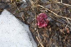 Anomala Paeonia νεαρών βλαστών Στοκ φωτογραφία με δικαίωμα ελεύθερης χρήσης