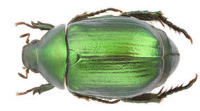 Anomala vitis. (Vine Chafer) isolated on a white background Stock Images