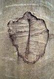 Anomalia abstrata em um tronco da faia Foto de Stock