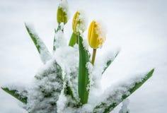 Anomalia natural do tempo, flores cobertos de neve da tulipa Tulipas amarelas da mola na neve Flores que olham através da neve foto de stock