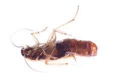 Anomalie de cancrelat d'insecte avec la poche d'oeufs image libre de droits