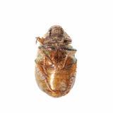 Anomalie de coléoptère photographie stock