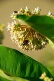Anomalie de juin sur le milkweed photos libres de droits