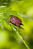 Anomalie de lineatum de Graphosoma Photos libres de droits