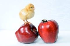 Anomalie et poulet sur une pomme? Image libre de droits