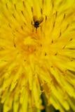 Anomalie noire sur la fleur jaune photos libres de droits