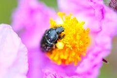 Anomalie noire sur la fleur violette images stock