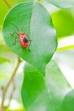 Anomalie rouge de coton (cingulatus de Dysdercus) images libres de droits