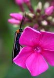 Anomalie sur Impatiens rose Photographie stock libre de droits