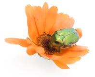 Anomalie verte sur une fleur de calendula images libres de droits