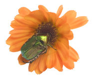Anomalie verte sur une fleur de calendula photo stock