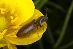 Anomalies et coléoptères Photographie stock
