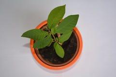 Anona cherimoya δέντρο στοκ φωτογραφία με δικαίωμα ελεύθερης χρήσης