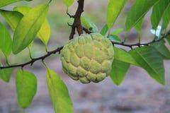 Anona que crece en árbol Fotos de archivo