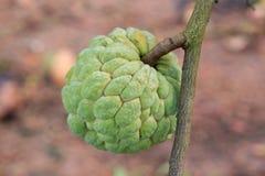 Anona que crece en árbol Fotografía de archivo libre de regalías