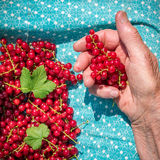 Anonymous senior woman in her garden and homegrown redcurrants Royalty Free Stock Images