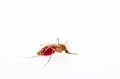 Anopheles κουνούπια Στοκ Εικόνες