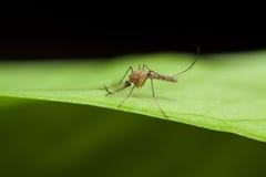 Anopheles κουνούπι στο πράσινο φύλλο Στοκ Εικόνες