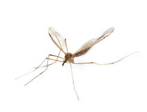 Anopheles κουνούπι Στοκ φωτογραφία με δικαίωμα ελεύθερης χρήσης