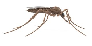 Anopheles gambiae Stock Photography