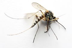 Anopheles mosquito Stock Image