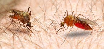 Anopheles mosquito. Stock Photos