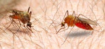 Anopheles mosquito. stock photos