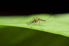 Anopheles mosquito on green leaf Stock Images