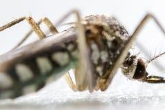 Anophelessp är art av myggan i beställningsdipteraen, Anophelessp I vattnet fotografering för bildbyråer