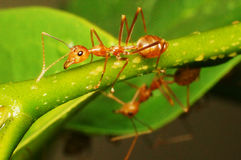 Anoplolepis gracilipes Crazy ants. Picture of Anoplolepis gracilipes Crazy ants in a tree in Asia Stock Image