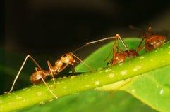 Anoplolepis gracilipes Szalone mrówki Obraz Stock