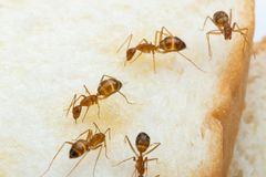 Free Anoplolepis Gracilipes, Yellow Crazy Ants, On Sliced bread, Stock Photography - 155911892