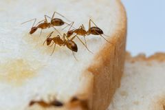 Free Anoplolepis Gracilipes, Yellow Crazy Ants, On Sliced bread, Royalty Free Stock Image - 155911946