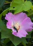Anoplophora chinensis και λουλούδι Στοκ Εικόνες