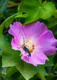 Anoplophora chinensis και λουλούδι Στοκ εικόνες με δικαίωμα ελεύθερης χρήσης