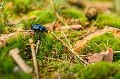 Anoplotrupes stercorosus, a colorful beetle walks through the forest undergrowth in a natural environment. Poland, Anoplotrupes stercorosus, a colorful beetle stock image