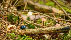 Anoplotrupes stercorosus, a colorful beetle walks through the forest undergrowth in a natural environment. Poland, Anoplotrupes stercorosus, a colorful beetle stock photo