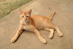Anorange cat. A cutie cat on the ground royalty free stock image