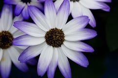 Anordnung für die weißen und blauen Blumen Stockfoto