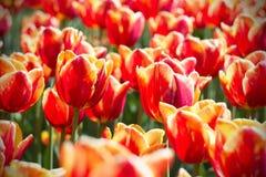 Anordnung für Frühlingstulpen Stockfotos