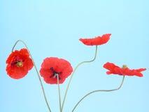 Anordnung für rote Mohnblumen stockfoto