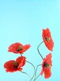 Anordnung für rote Mohnblumen Stockbilder