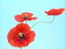 Anordnung für rote Mohnblumen Lizenzfreie Stockfotos