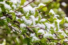 Anormaler Frühling, der Schnee auf den Niederlassungen von Bush Lizenzfreies Stockfoto