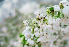 Anormales natürliches Phänomen Schnee, Frost, Frost im Spätfrühling während des Blühens von Bäumen Die Niederlassung einer blühen Stockfoto